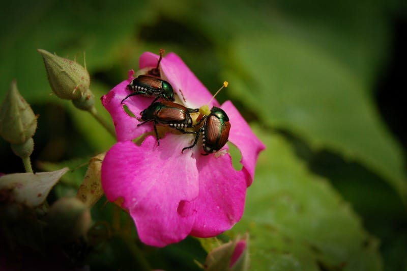 Japanese Beetles on Roses