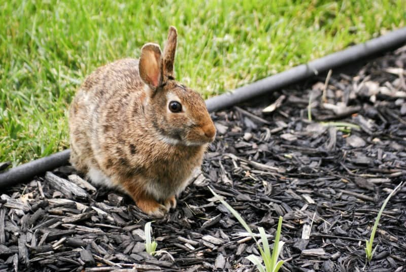 Rabbit in Garden - Dealing With Garden Pests