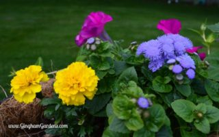 Annual Flowers - Ageratum, Petunia & Marigolds