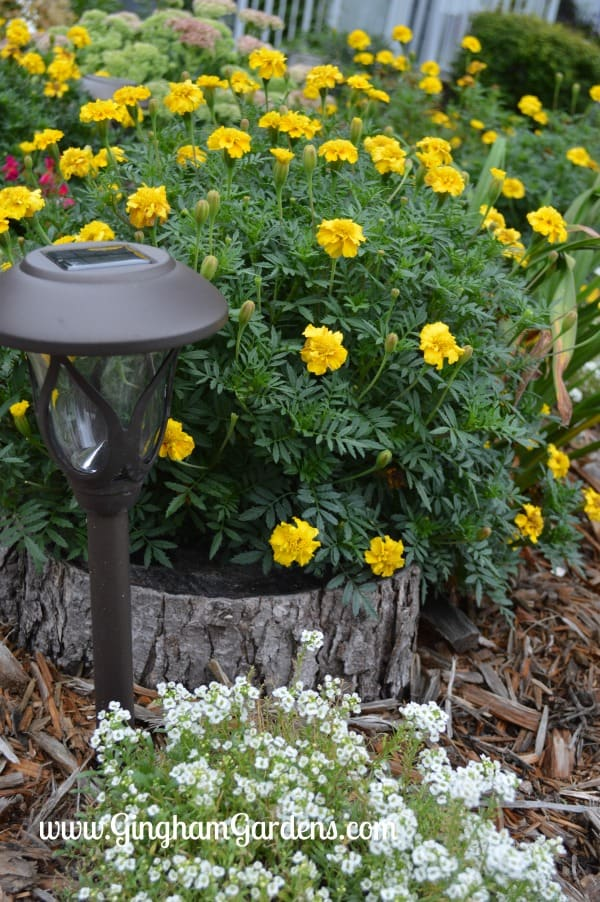 Annual Flowers - Marigolds & Alyssum