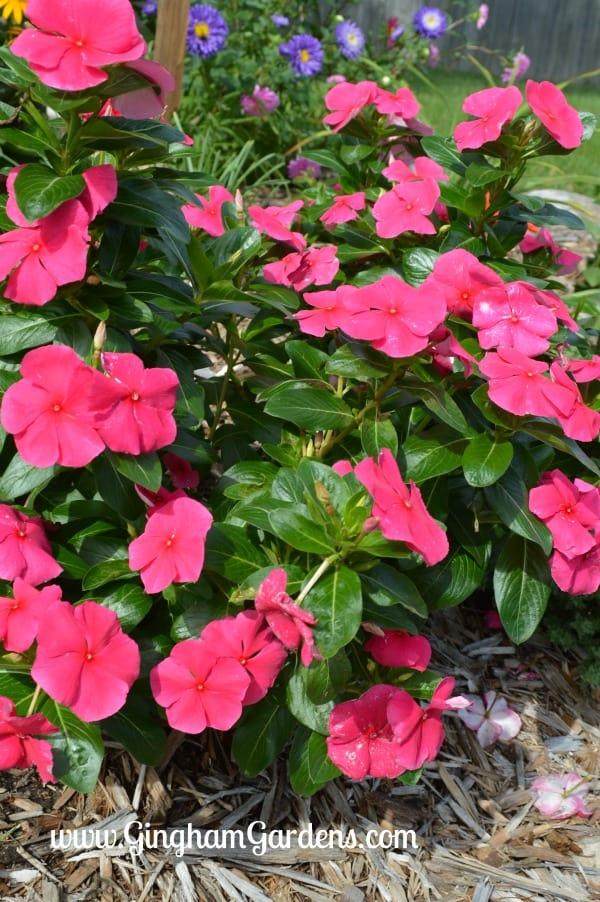 Annual Flowers - Vinca