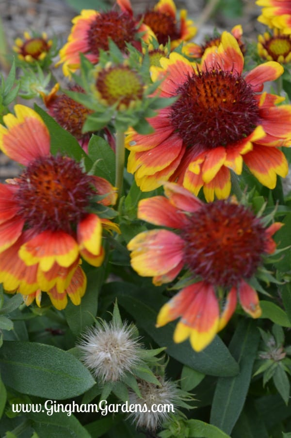 Blanket Flower (Gaillardia) is a Perennial that blooms the entire summer and into fall.