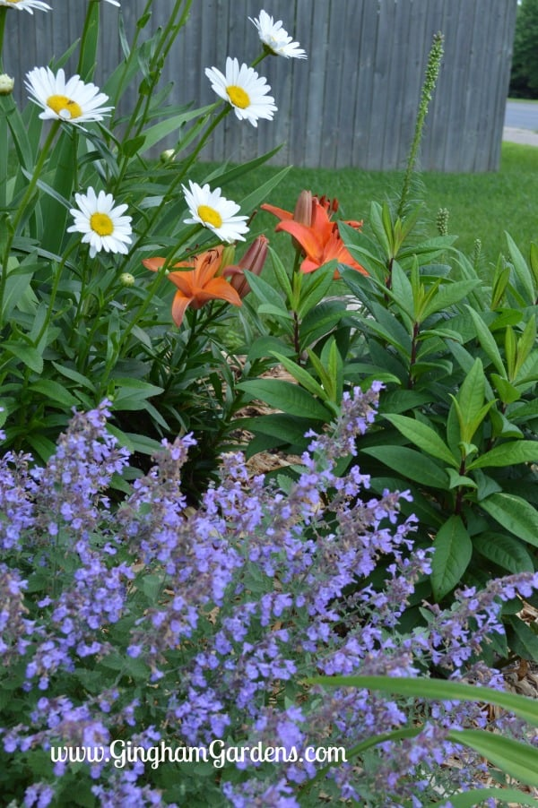 Stunning Perennial Combination of Walker's Low Catmint, Shasta Daisies and Asiatic Lilies