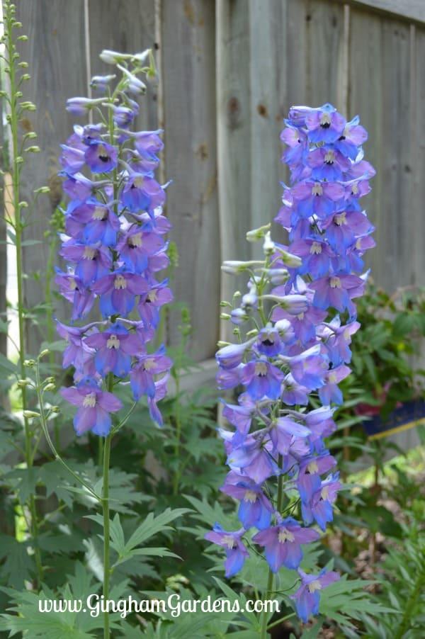 Classic Perennials - Delphinium