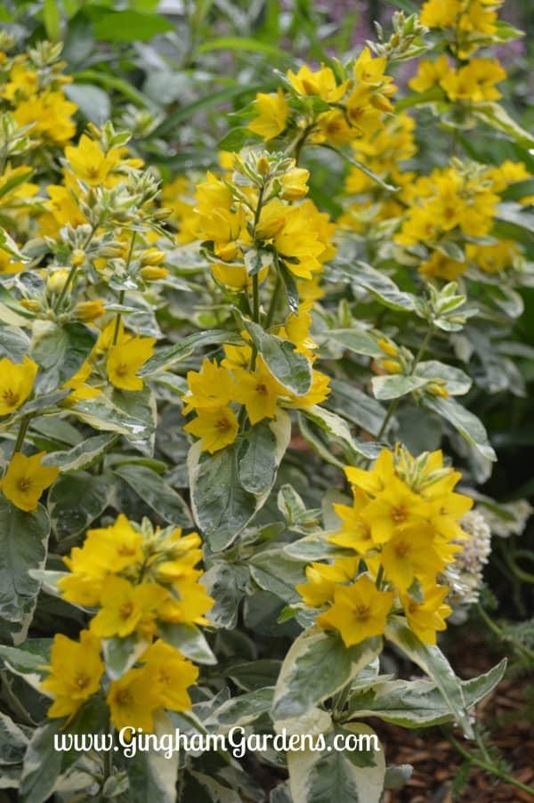 Variegated Yellow Loosestrife (Lysimachia Alexander)