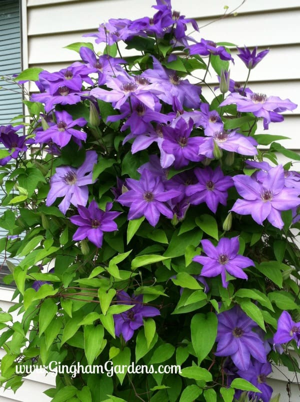 Ramona Clematis, A Classic Perennial