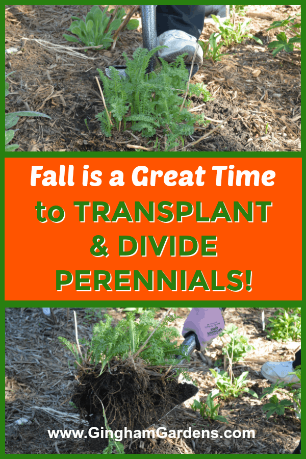 How to Transplant & Divide Perennial Plants