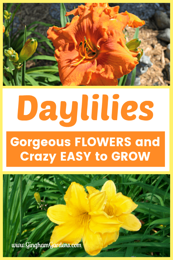 Tips for Growing Daylilies