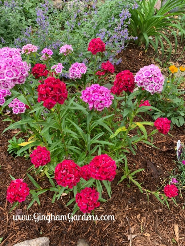 Home Garden Tour - Sweet William