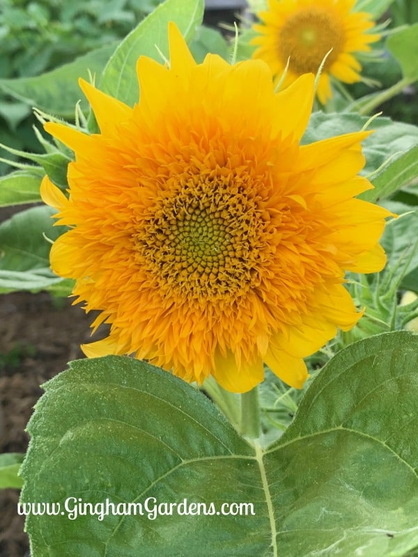 Summertime in the Gardens - Teddy Bear Sunflowers