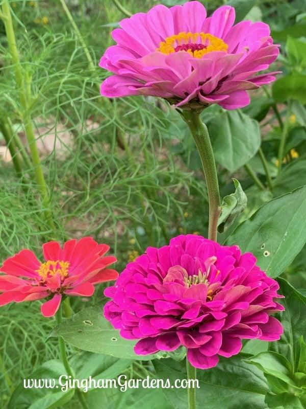 Summertime in the Gardens - Zinnias