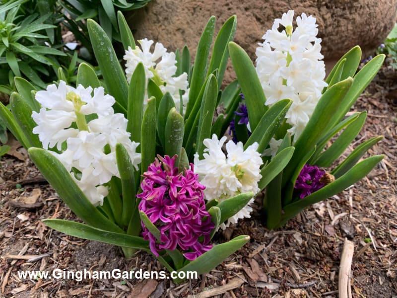 Hyacinth Flowers