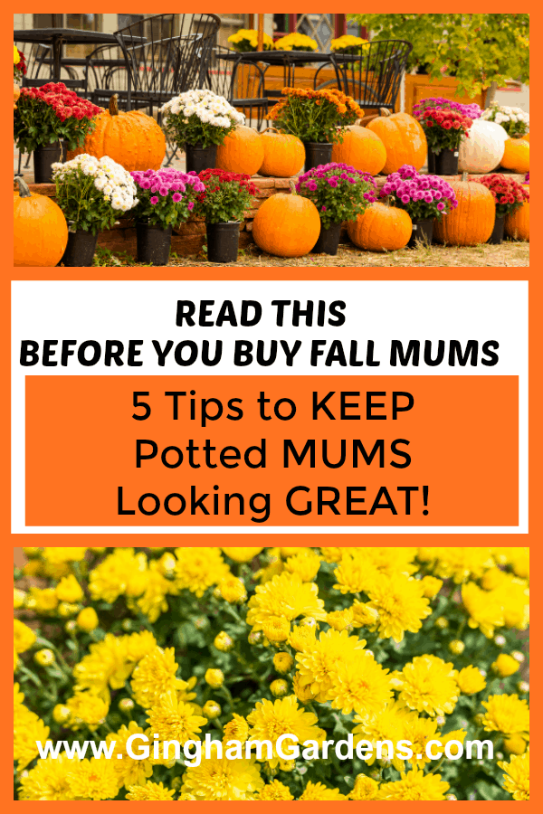 5 Tips to Keep Potted Mums Looking Great