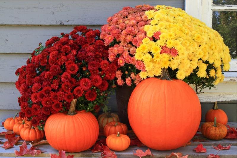 Image of Mums & Pumpkins