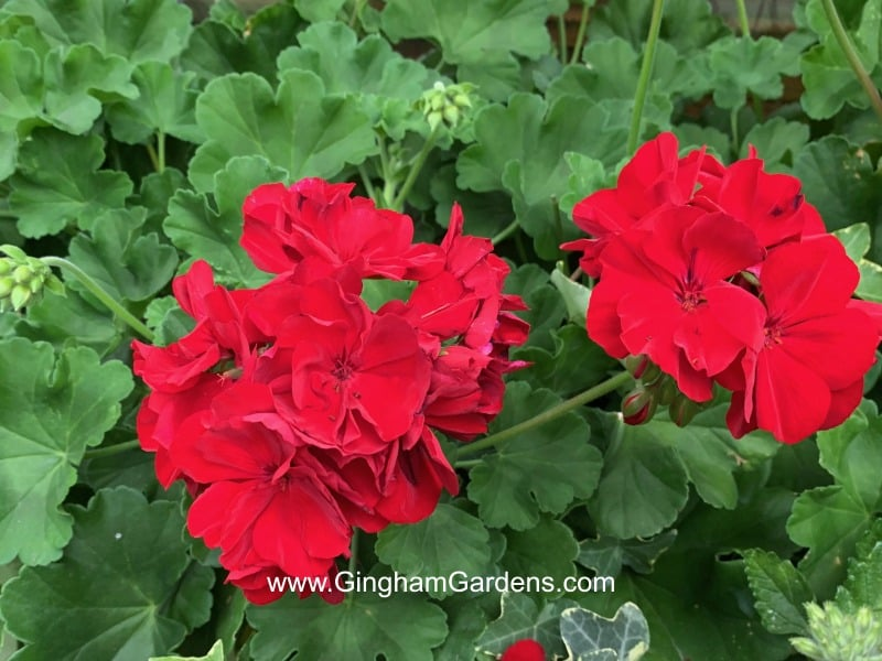 How to Overwinter Zonal Geraniums