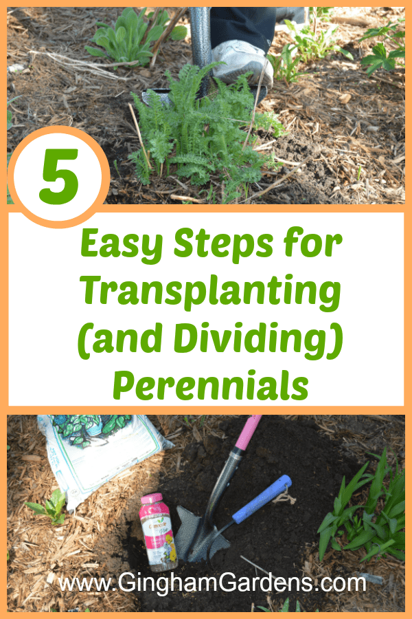 How to Transplant and Divide Perennial Plants