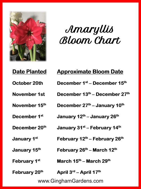 Amaryllis Bloom Time Chart