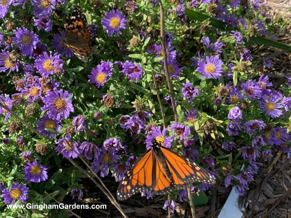 Butterflies and Bees on Aster