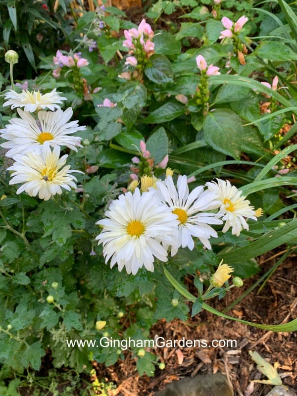 Minnesota Hardy White Chrysanthemum