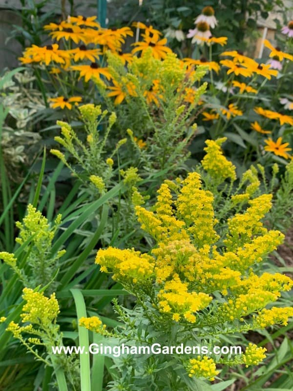 Goldenrod and Black-eyed Susans