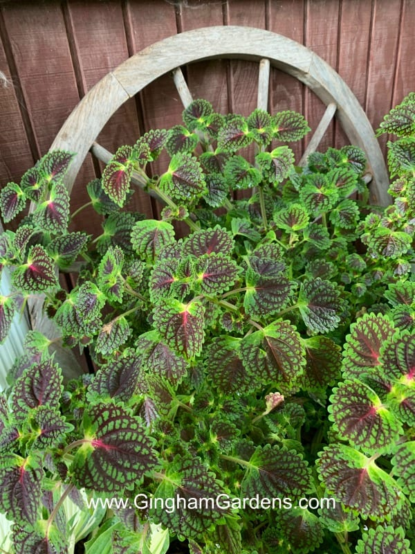 How to Save Coleus Plants From Your Garden