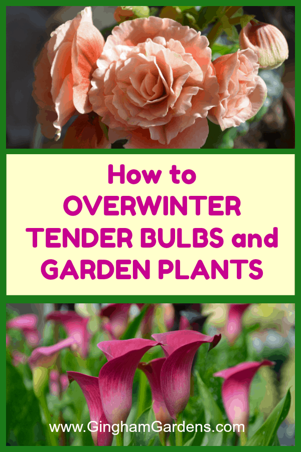 How to Overwinter Tender Bulbs and Garden Plants
