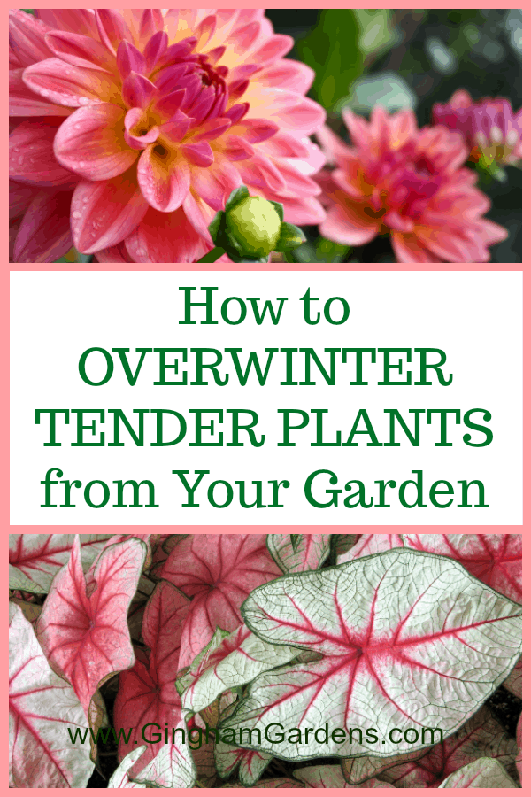 How to Overwinter Tender Plants