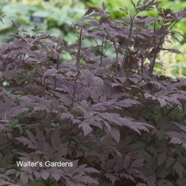 Bugbane - A Shade Garden Perennial