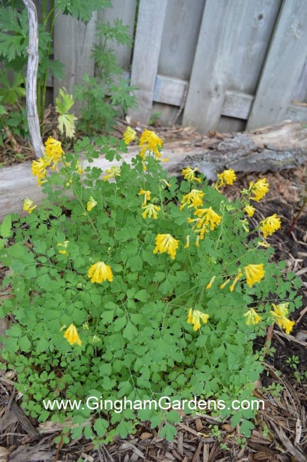 Golden Corydalis - A Shade Perennial