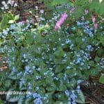 False Forget-me-not - A Shade Garden Perennial