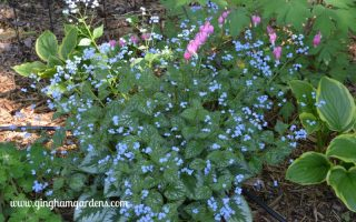 False Forget-me-not - A Shade Garden Perennial