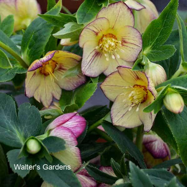 Lenten Rose - A Shade Garden Perennial