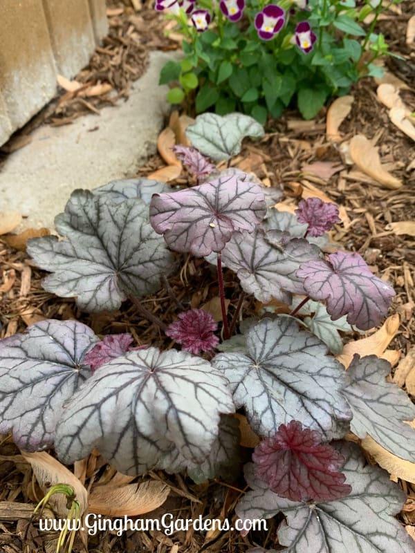 Sugar Plum Coral Bells - A Shade Garden Perennial