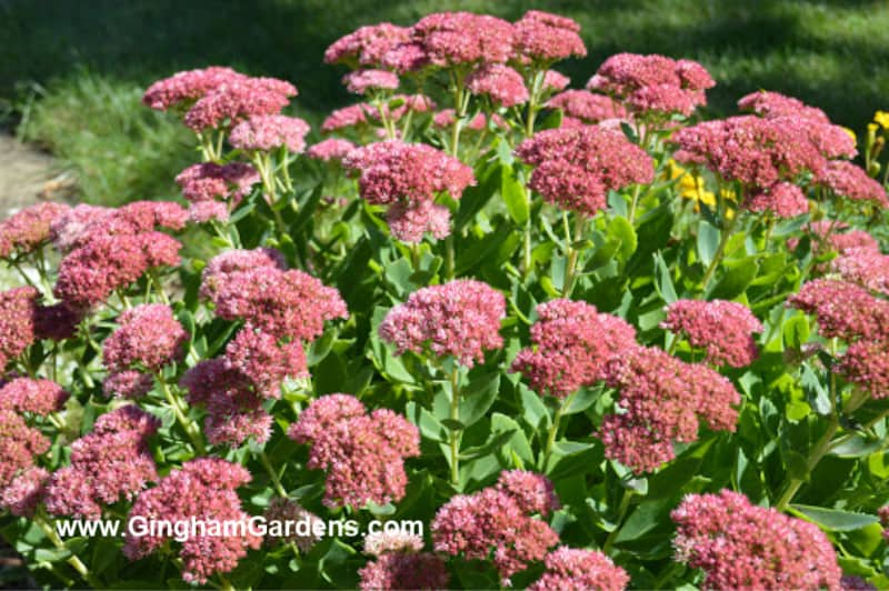 Image of Autumn Joy Sedum Plant