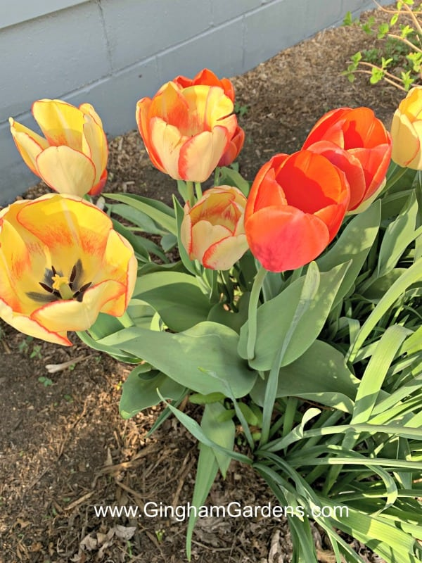 Image of Tulips