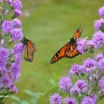 Image of Monarch butterflies on Meadow Blazingstar Liatris - A native plant for your flower garden.