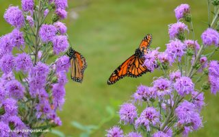 Image of Monarch butterflies on Meadow Blazingstar Liatris - A native plant for your flower garden.
