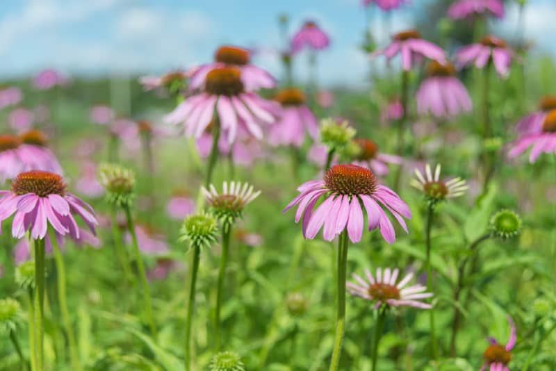 Image of Purple Coneflower - Native Plants for Your Garden