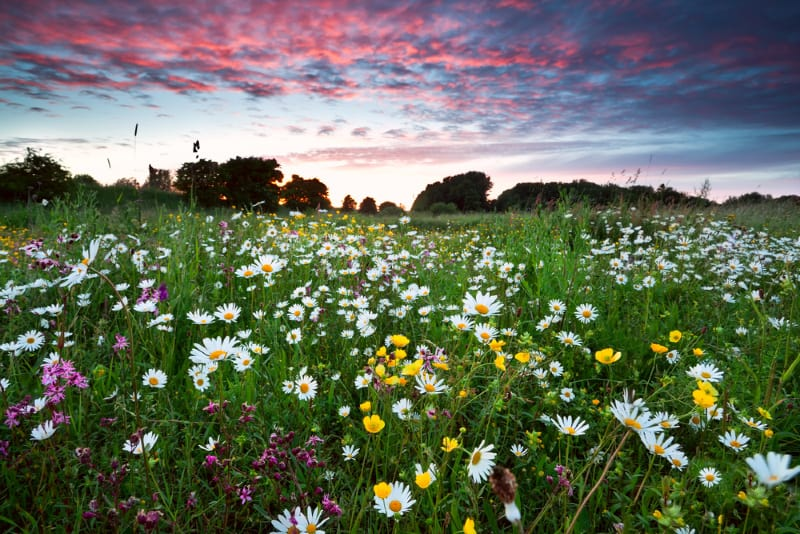 Image of Wild Flower Meadow