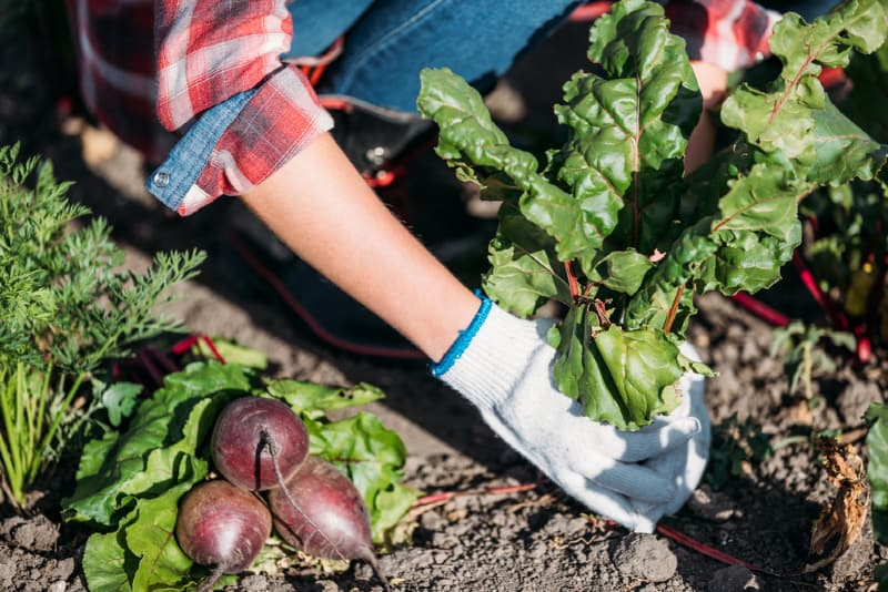 Gardener harvesting beets