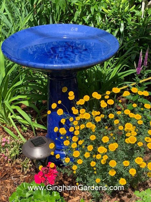 Image of birdbath and dwarf golden marguerite flower