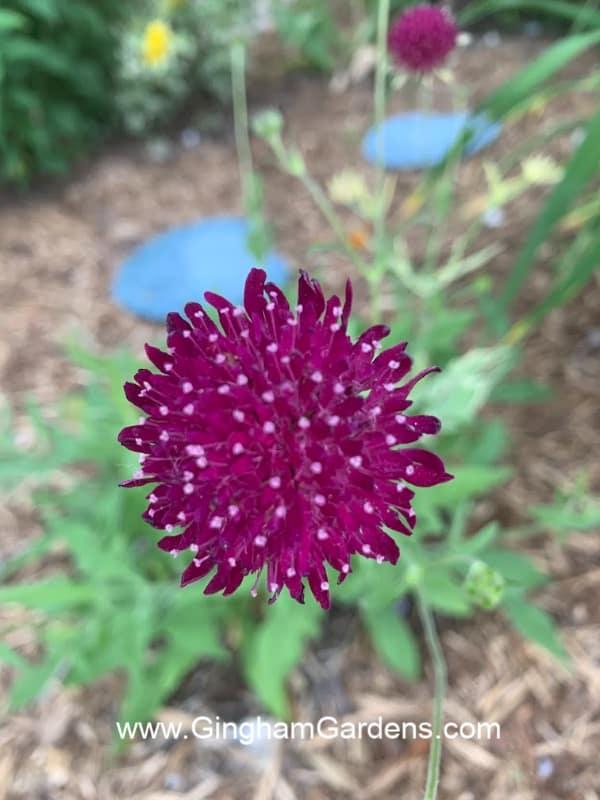 Knautia Flower Closeup