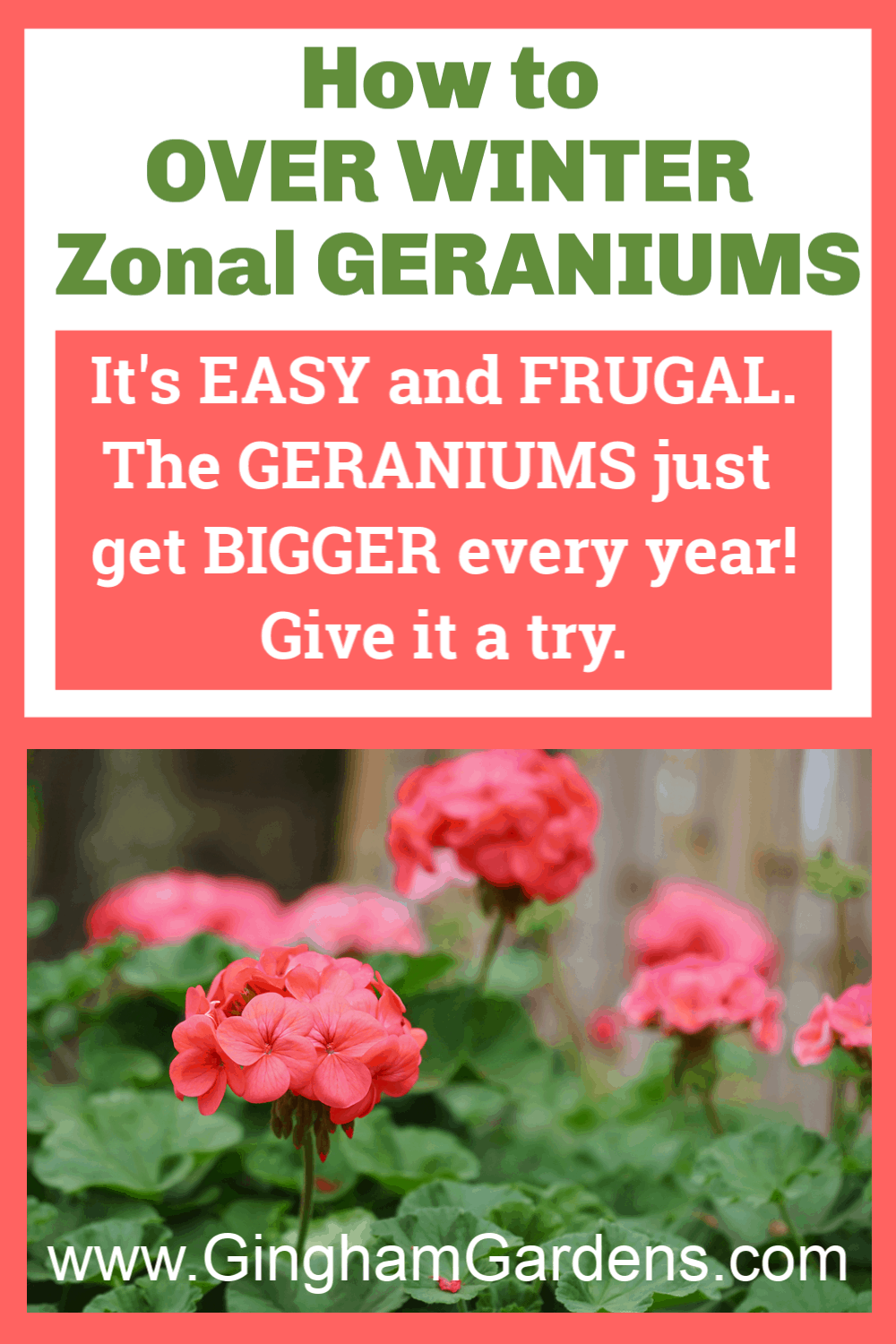 Image of Geraniums with text overlay - How to overwinter zonal geraniums
