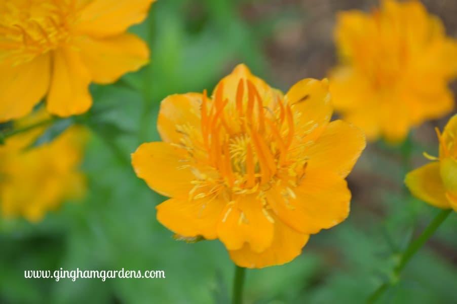 Globe Flower (Trollius)