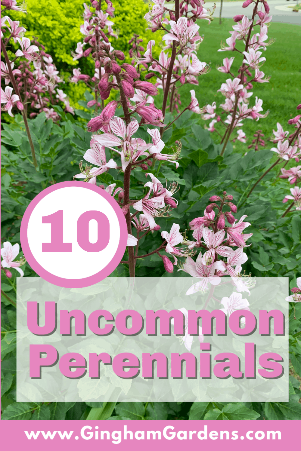 Image of a Gas Plant with Text Overlay - 10 Uncommon Perennials