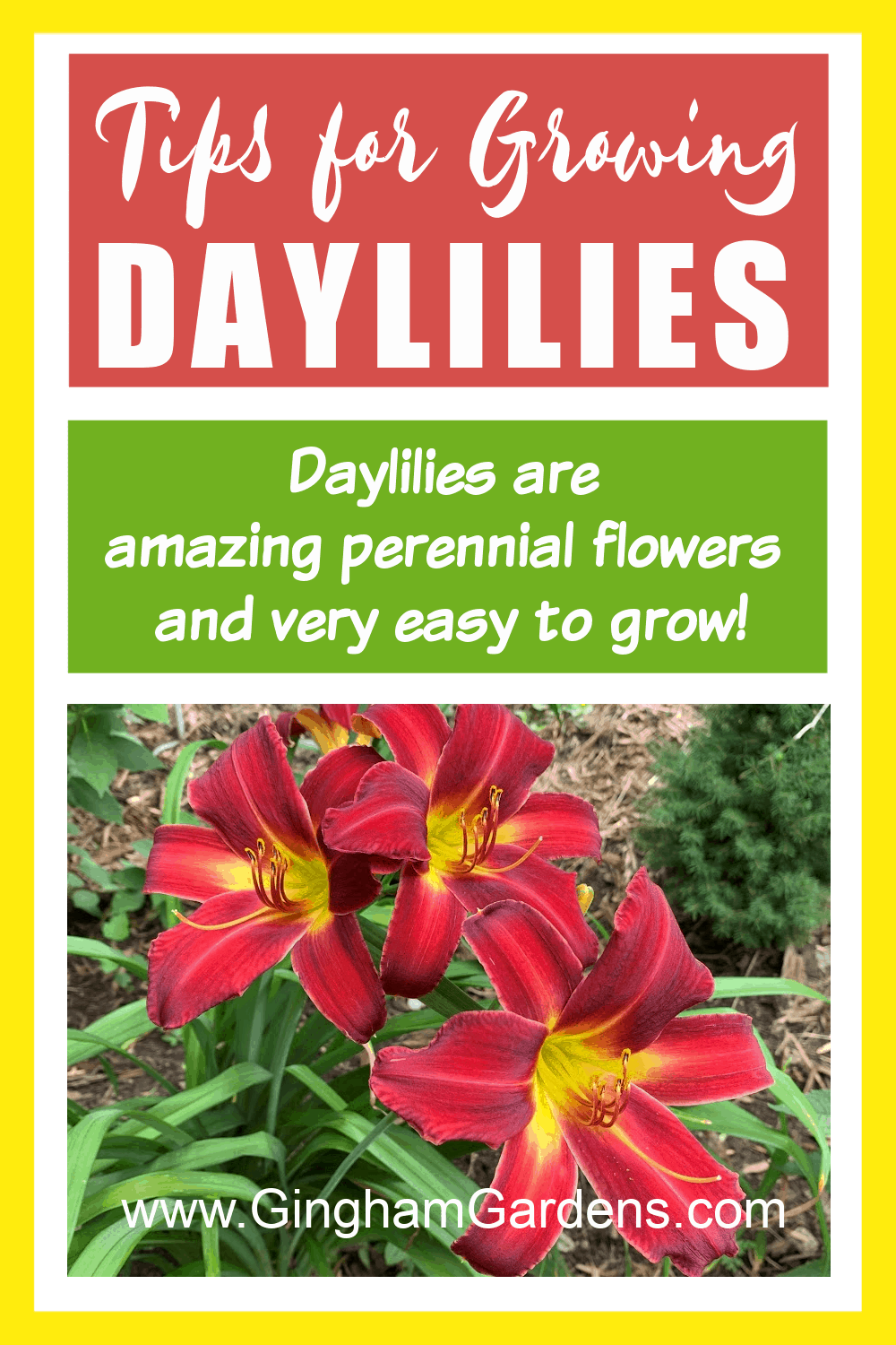 Image of Daylily flowers with text overlay - Tips for Growing Daylilies