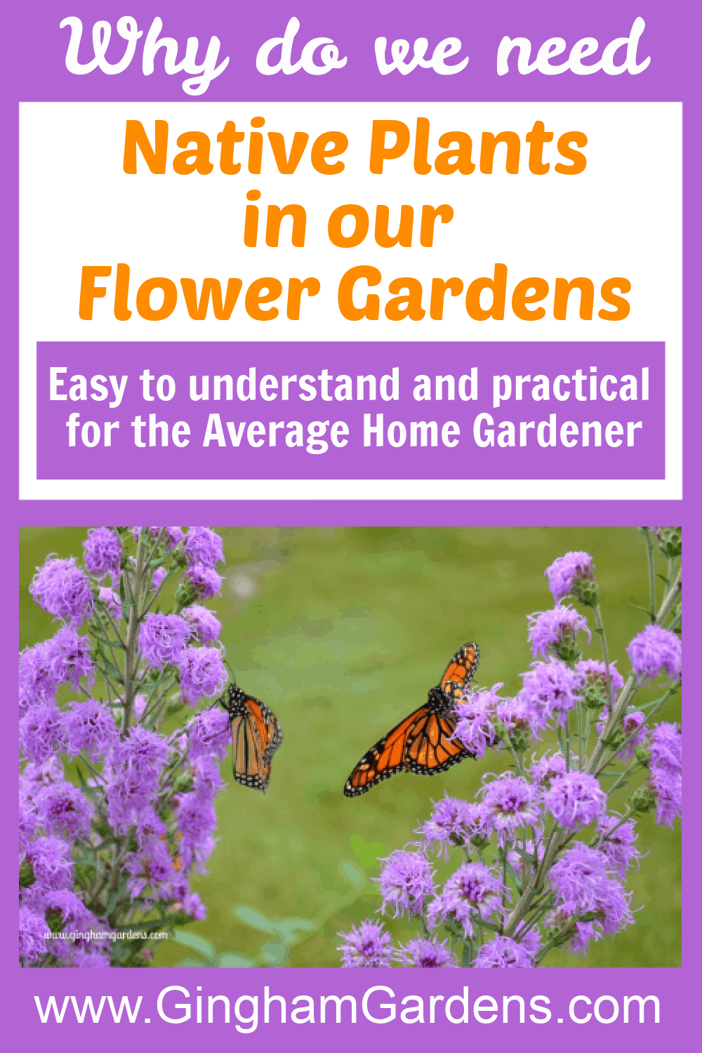 Image of butterflies on liatris with text overlay - Native Plants in Our Flower Gardens