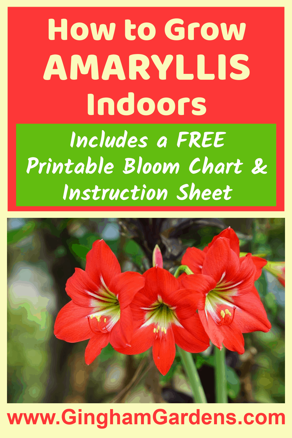 Image of an Amaryllis flower with text overlay - How to Grow Amaryllis Indoors
