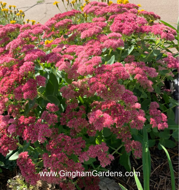 Image of Autumn Joy Sedum plant