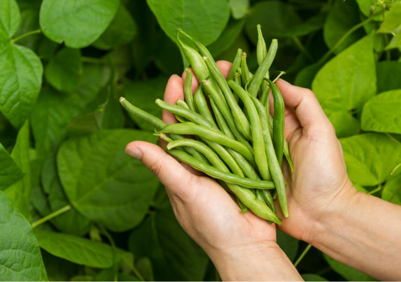 Image of gardener holding green beans